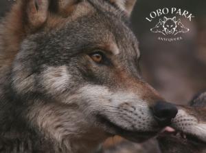 Wolf-at-Lobo-Park-610x451